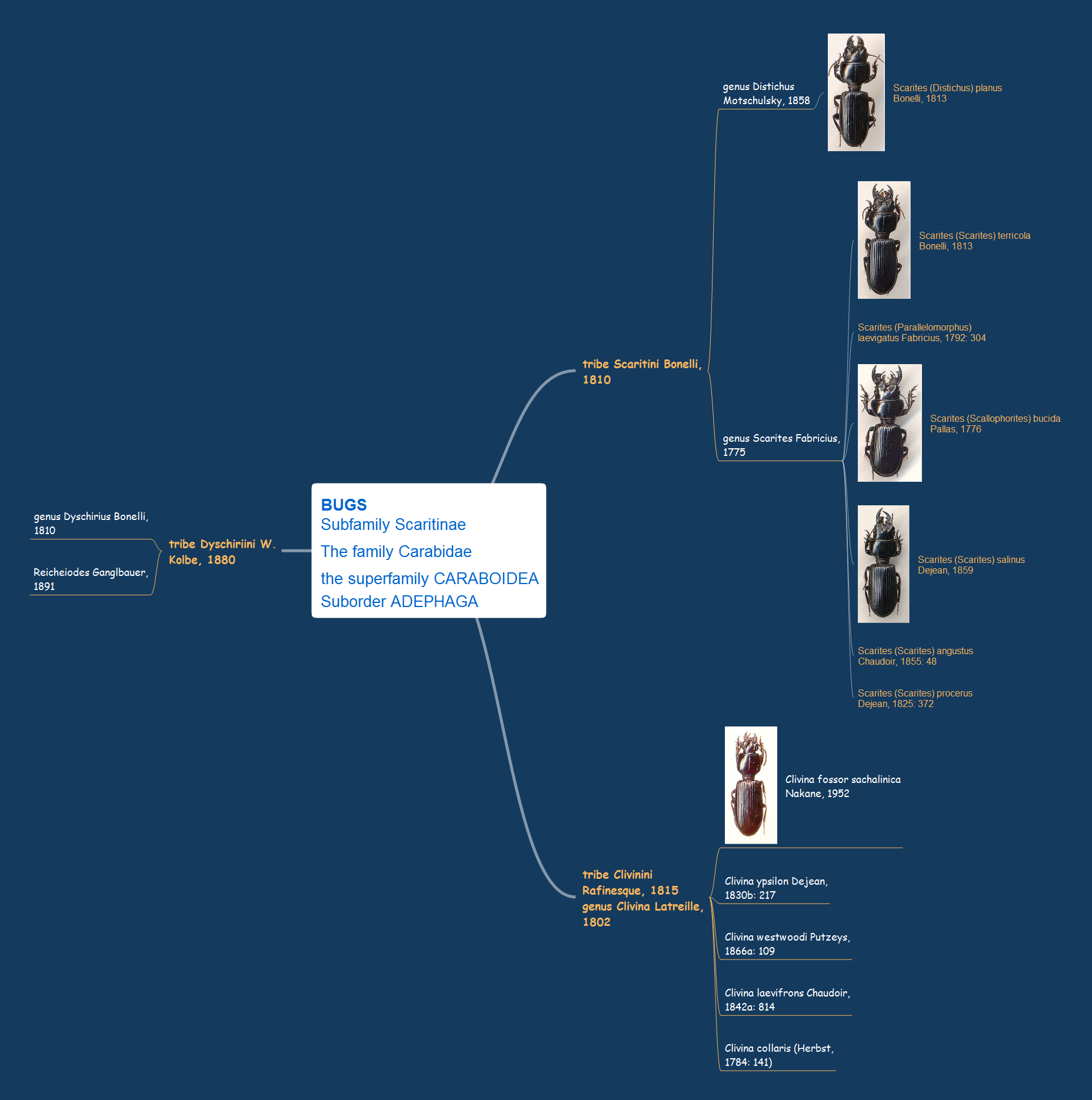 Mind map example - Bugs subfamily Scaritinae - ConceptDraw solution Remote Presentation for Skype
