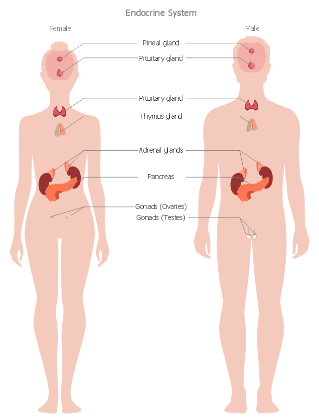 Endocrine System Visual System How To Make Medical Illustrations