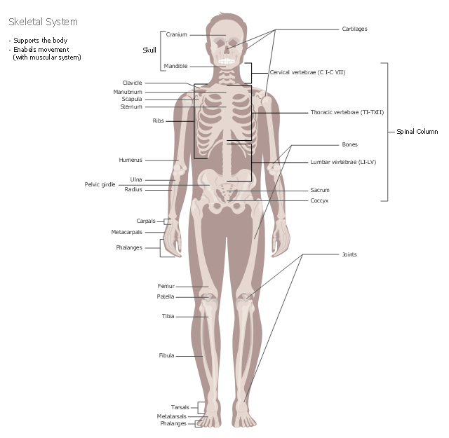 Healthcare illustration, skeleton, male body front,