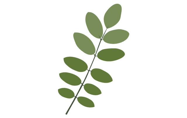 Tree leaf - acacia, acacia tree leaf,