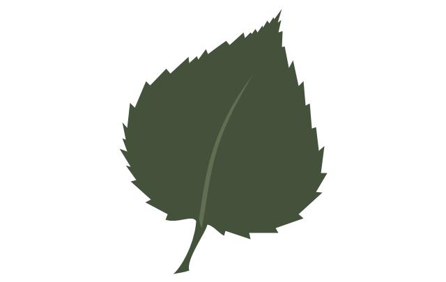 Tree leaf - birch, birch tree leaf,