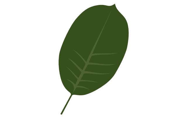 Tree leaf - walnut, walnut tree leaf,