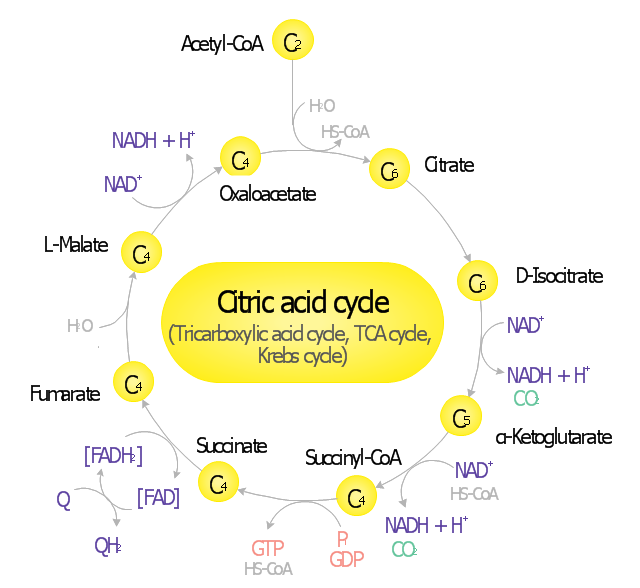 Tricarboxylic acid cycle, α-ketoglutarate, alpha-ketoglutarate, alpha-ketoglutaric acid, α-ketoglutaric acid, water, succinyl-CoA, succinyl-coenzyme A, SucCoA, succinate, succinic acid, butanedioic acid, spirit of amber, phosphate, phosphoric acid, orthophosphoric acid, dihydrogen phosphate, hydrogen phosphate, oxaloacetate, oxaloacetic acid, oxalacetic acid, nicotinamide adenine dinucleotide, NAD, guanosine-5'-triphosphate, GTP, guanosine triphosphate, guanosine-5'-diphosphate, GDP, guanosine diphosphate, fumarate, fumaric acid, trans-butenedioic acid, flavin adenine dinucleotide, FADH2, flavin adenine dinucleotide, FAD, coenzyme Q10, ubiquinone, ubidecarenone, coenzyme Q, CoQ10, CoQ, Q10, citric acid, citrate, citric acid cycle, tricarboxylic acid cycle, TCA cycle, Krebs cycle, carbon dioxide, acetyl coenzyme A, L-malate, malate, malic acid, L-malic acid, D-isocitrate, D-isocitric acid, isocitrate, isocitric acid, Coenzyme A,